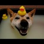 Poznajcie psa, który kocha kąpiele