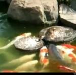 Kaczka dokarmia rybki
