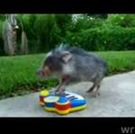 Muzyczna świnia - ODNALAZŁA SWOJĄ PASJĘ!