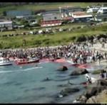 Rzeź wielorybów na Wyspach Owczych - DRAMAT!