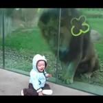 Lew ma ochotę na niemowlaka