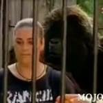 W klatce z gorylem