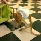 Kolekcjoner SŁODKOŚCI - kangurek
