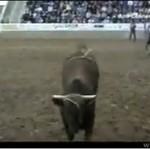 Byk nie miał ochoty na rodeo
