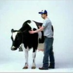 Chciał dostarczyć krowie rozrywki...