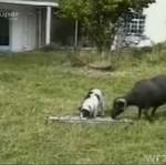 Bitwa barana i psa