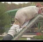 Tresura świni - STRASZNE!
