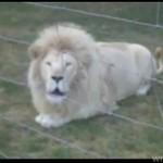 Ten lew brzmi, jakby połknął... motor!