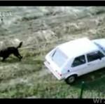 Wyprowadza psa... jadąc samochodem!