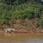Jaguar atakuje krokodyla
