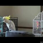 Papuga w hołdzie Jacksonowi!