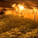 Największa w Polsce plantacja marihuany