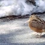 Tańczący ptaszek - daje radę!