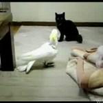 Papuga versus kot