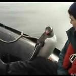 Pingwinek PRZECHYTRZYŁ orkę