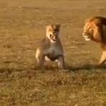 Najlepsze walki zwierząt