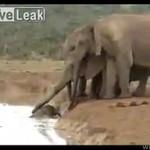 Słonice ratują maleństwo!