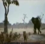 Lwy atakują słonia