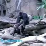 Kłótnia w zagrodzie goryli
