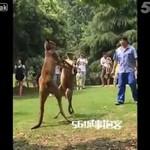 Pracownicy ZOO chcą rozdzielić walczące kangury