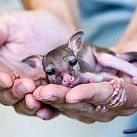 Kolekcjoner SŁODKOŚCI - kangurki