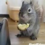 Wiewiórka obżera się cytryną!