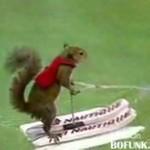 Wiewiórka na nartach wodnych!