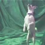 Psie tańce