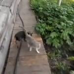 Najbardziej leniwy kot świata
