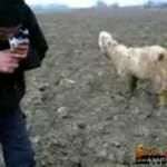 Chciał nauczyć kozę palić