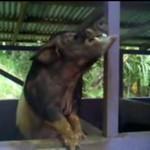 Świnia żłopie browara