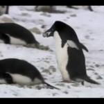 Pingwin-złodziej!