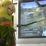 Papugi grają w grę komputerową!