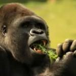 Ten goryl chodzi na dwóch nogach!