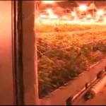 Największa plantacja marihuany w Polsce!