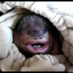 I ty możesz mieć w domu małą, słodką małpkę!