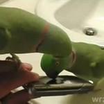 Papużki uczą się korzystać z telefonu