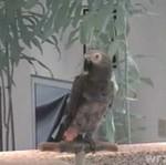 Papuga - fanka Obamy!