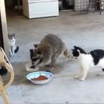 Szop okrada koty!