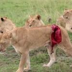 Lwica rozszarpana przez bawoła