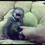 Wściekły śmiech małpki
