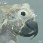 Łysa papuga