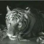 Tygrys dominuje nad stadem krokodyli