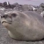 Przyjacielska foczka zaczepia turystów