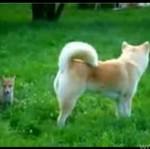 Lisek bawi się z psem - SŁODKO!