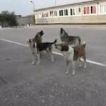 Rosyjskie psy śpiewają hymn!
