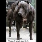 Najbardziej umięśniony pies świata