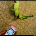 Papuzi lans - ona nadaje się na dyskotekę!