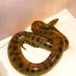 Ogromny wąż wypełzł z toalety! W POLSCE!