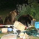Niedźwiedzie na campingu
